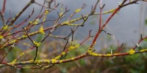Lichen on dogwood