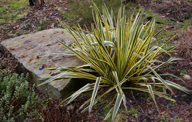 yucca filamentosa y flaccida plant fix verdure. Black Bedroom Furniture Sets. Home Design Ideas