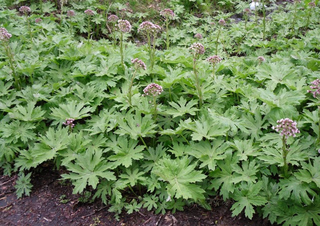 Petasites Palmatus Palmate Coltsfoot Native Plant Fix