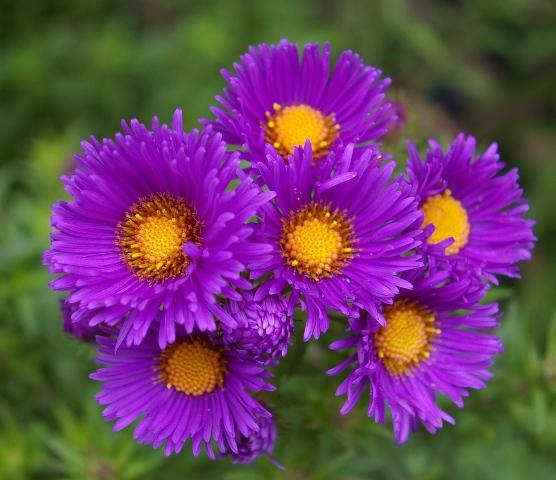 The purple flowers of autumn plant fix verdure - Flowers that bloom in autumn ...