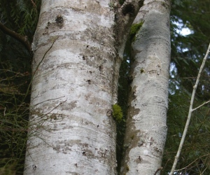 White crustose lichens on red alder