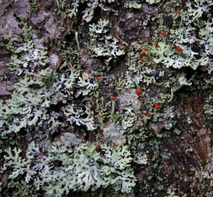 Lipstick Cladonia, a form of club lichen with bright red fruiting bodies originating from the fungus partner