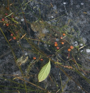 Iris seeds frozen on pond surface
