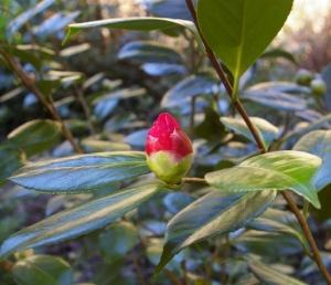 camellia bud small