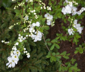exochorda blooms small