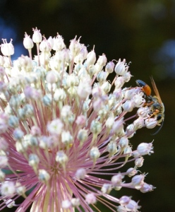 Great Golden Digger Wasp eating nectar from an allium flower