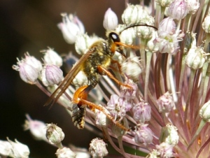 Sphex ichneumoneus (Great Golden Digger Wasp)