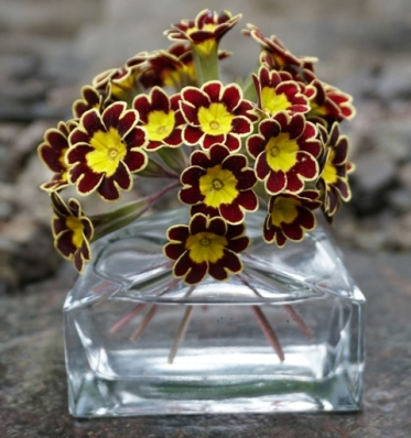 mahogany sunrise primrose in vase small