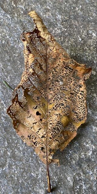 alder leaf small