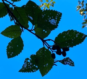 alder sky small